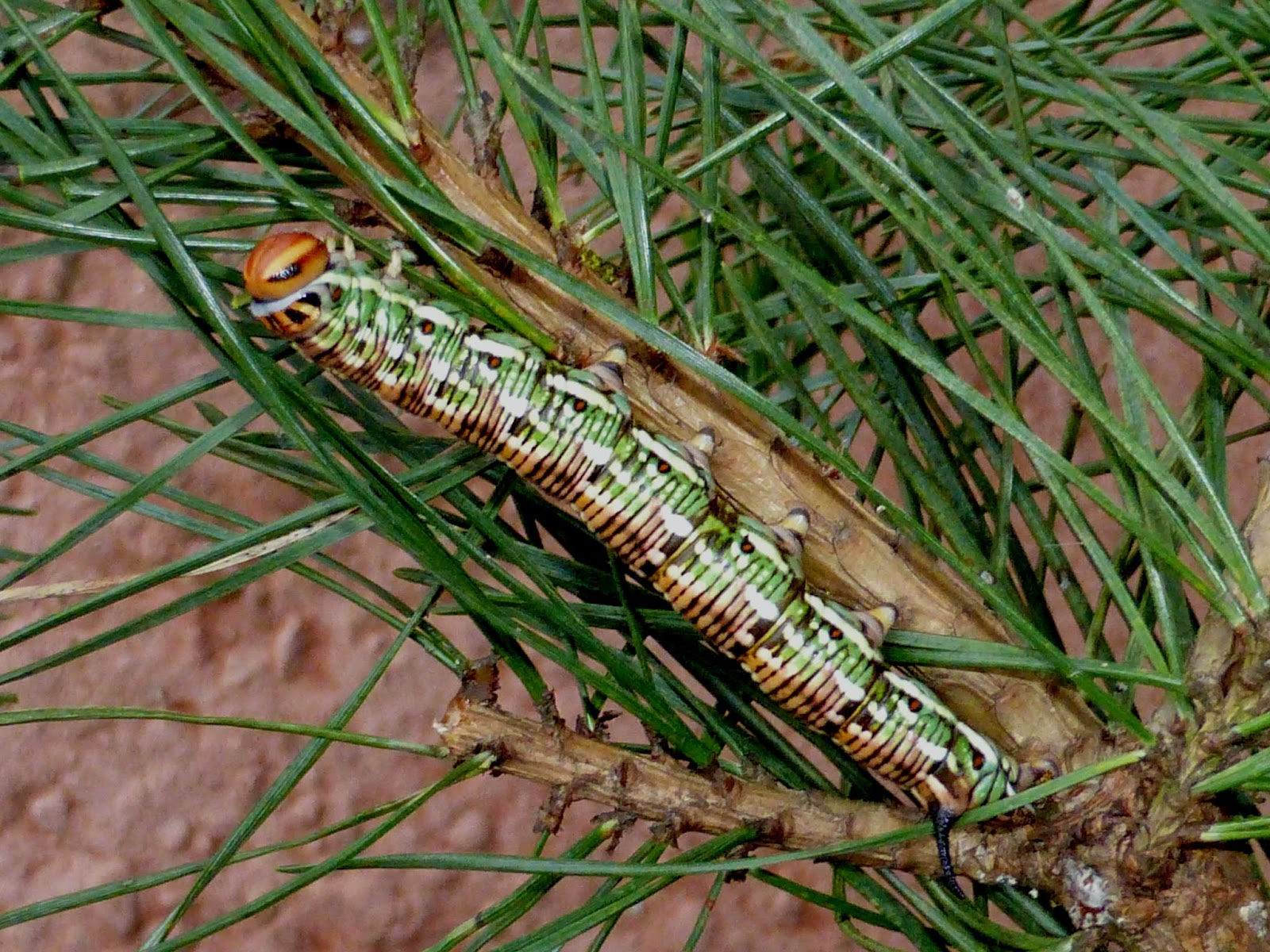 Sphinx pinastri caterpillar