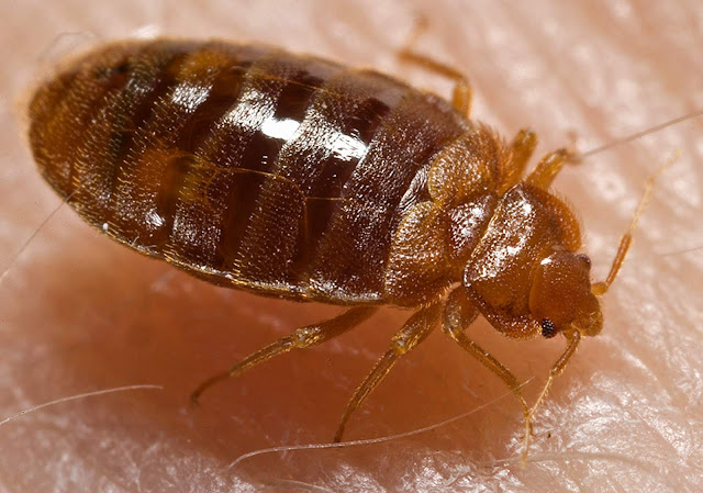 Bedbugs Images