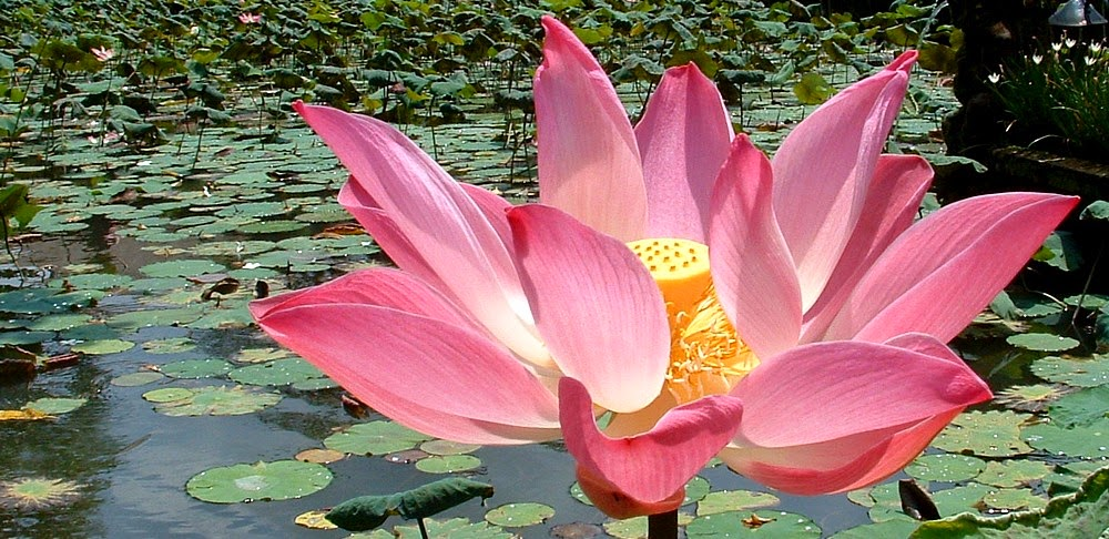Energy therapy the joy of living consciously humanitys blossoming the lotus flower grows from the bottom of muddy streams and ponds to rise above the water and blooms in a display of breathtaking brilliance mightylinksfo