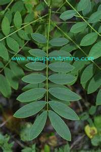 daun senna - sumber herb lax shaklee
