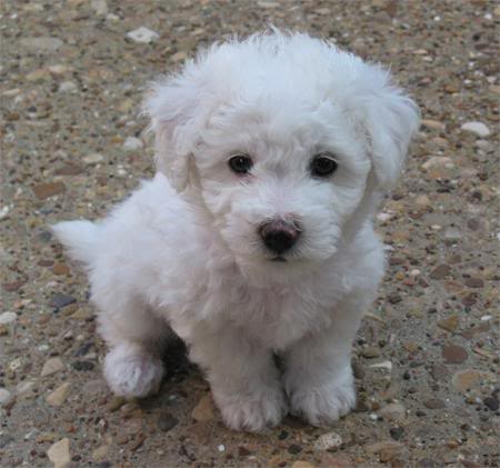 Bichon Frise Puppies on Bichon Frise Puppies Pictures And Information