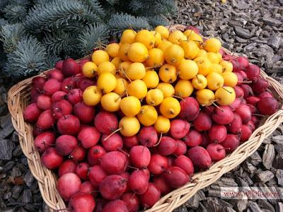 Rajskie jabłuszka - WikiRose