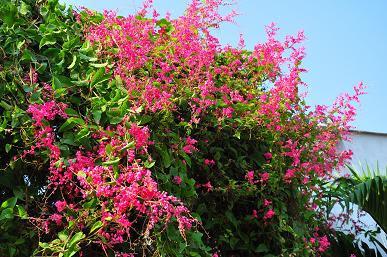 Hoa tigon cây cảnh dây leo