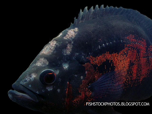 Oscar with hole in the head disease exotic tropical for Fish diseases pictures