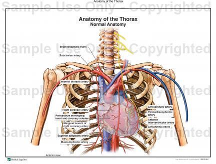 Anatomy of the thorax