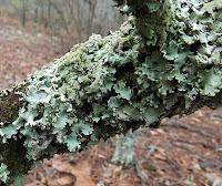 plate lichen