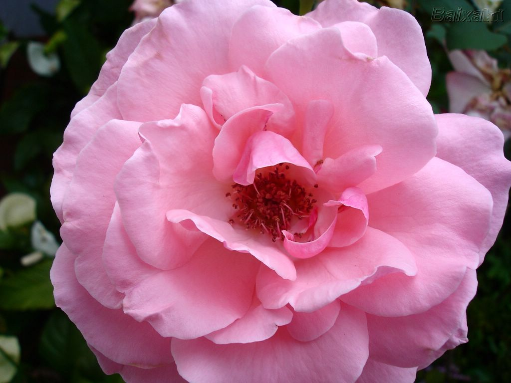 http://2.bp.blogspot.com/-1huiXINSNpw/Tdv57GVEVdI/AAAAAAAAANQ/eKwcJ9KnI3E/s1600/rosa.jpg