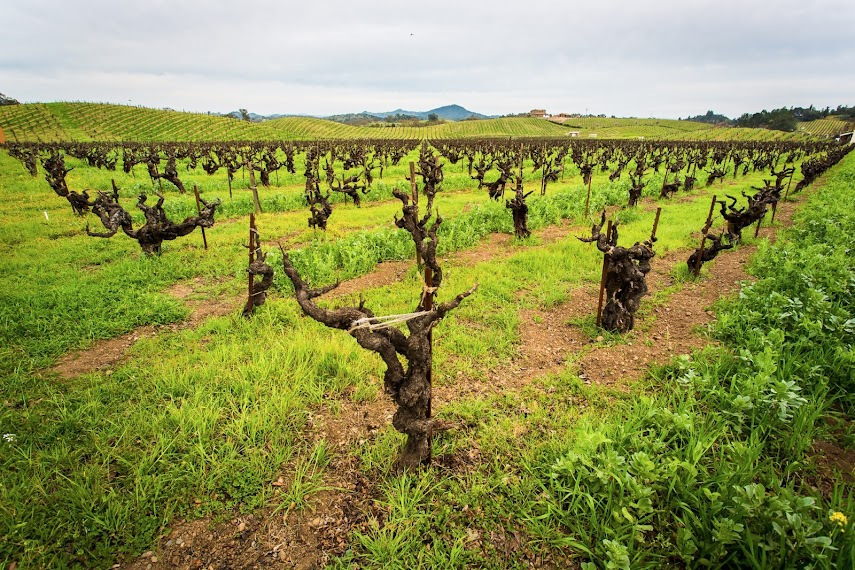 Dormant Vines, Ridge Vineyards, Healdsburg, CA -- by Harpreet Grewal