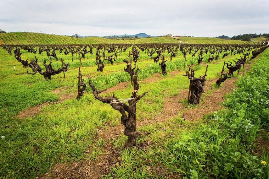 Dormant Vines, Ridge Vineyards, Healdsburg, CA -- by Harpreet Grewal