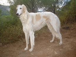 Giống chó Borzoi.