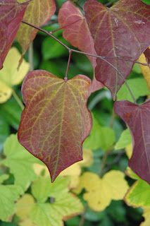 Judas tree has beautiful leaf shape and autumn colour.