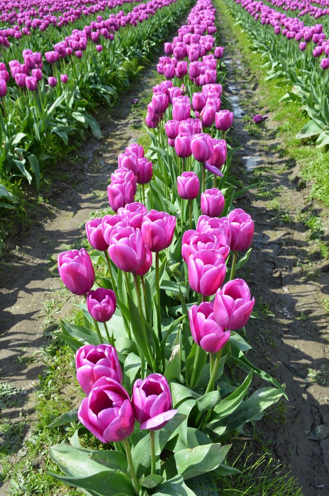 Skagit valley tulips festival. Pink tulips