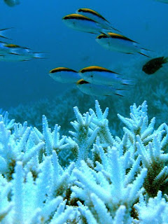Shallow water corals are endangered from bleaching caused by ocean acidification due to atmospheric carbon