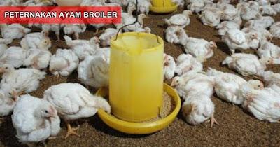Cara Meningkatkan Bobot Ayam Broiler