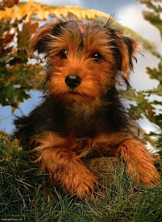 Yorkshire Terrier Puppy Pictures