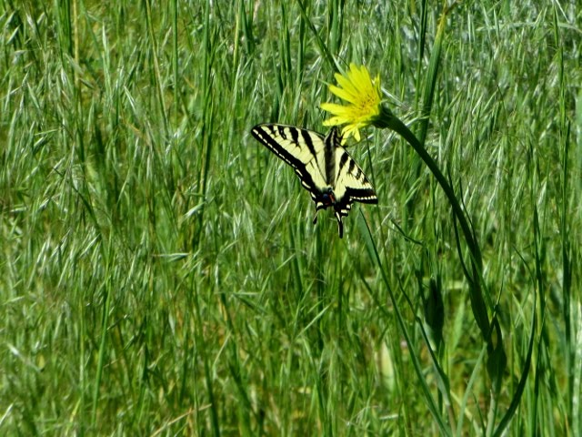 Butterfly on Goat's Beard, Red Lodge, Montana, June 2017