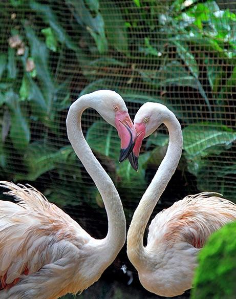 Flamingo In Love