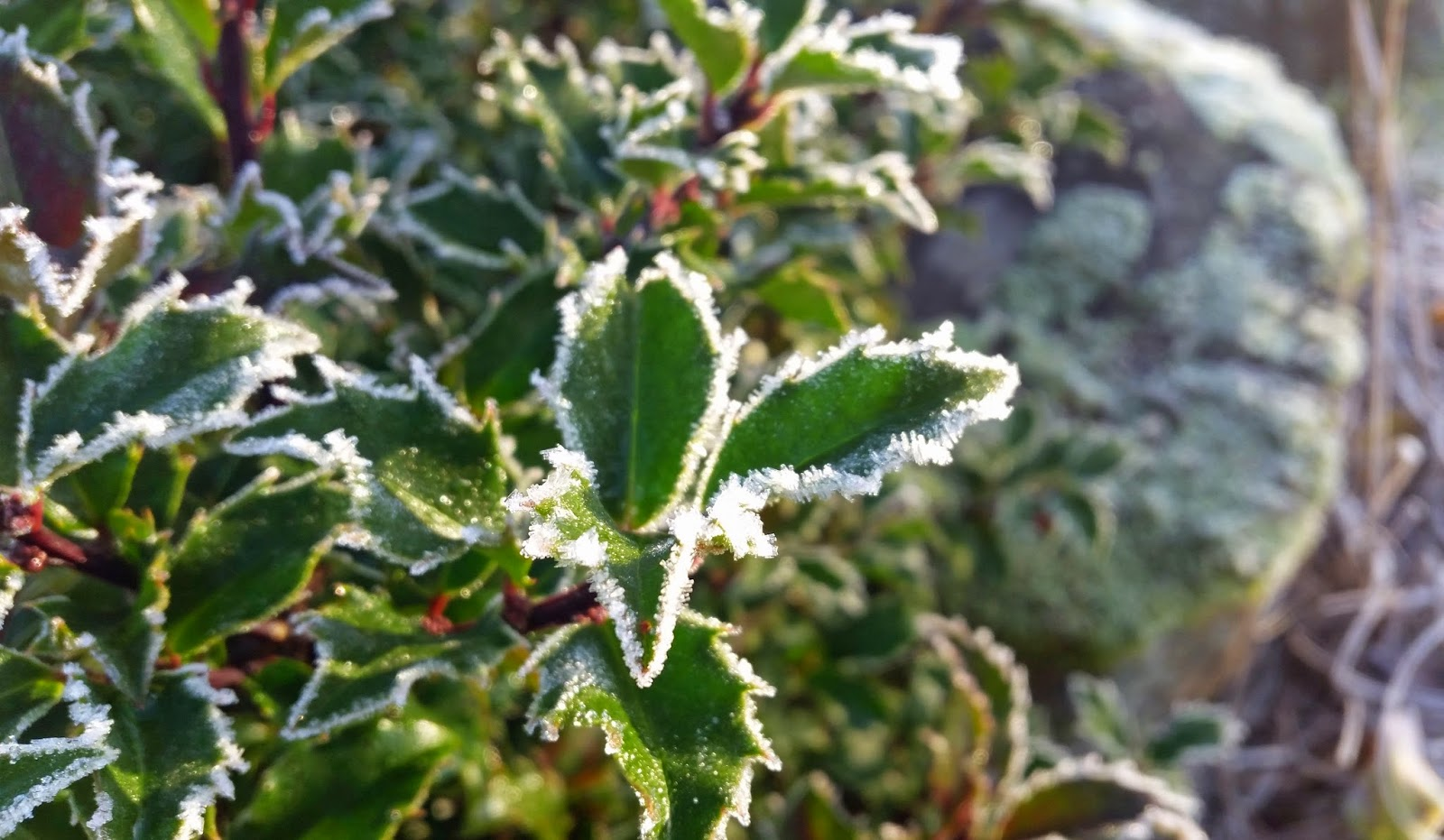 Järnek frost vinter