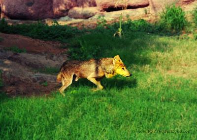 animals, wolf, grey wolf, Indian wolf, running wolf