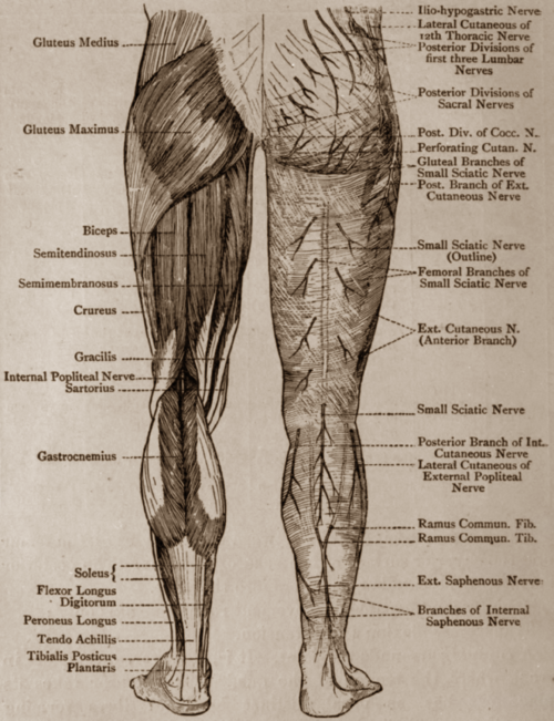 Lower Limb Human Anatomy By Owaeyss