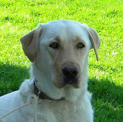 Kristi, AKC Labrador Retriever