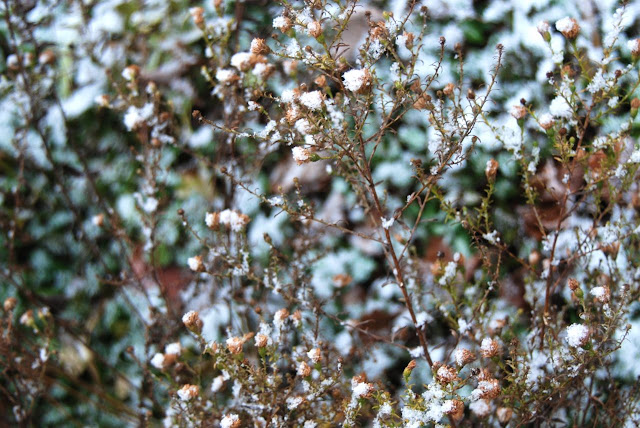 Snow dotted on the browned asters.