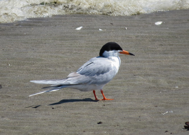 Forster's Tern - Jamaica Bay, New York