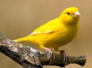 7 Perawatan Burung Kenari Supaya Ngerol/Gacor