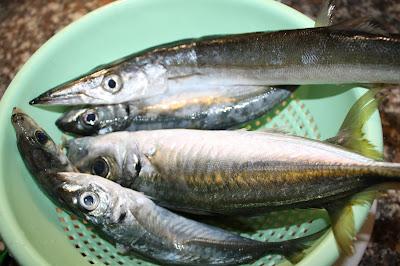 sugarello barracuda