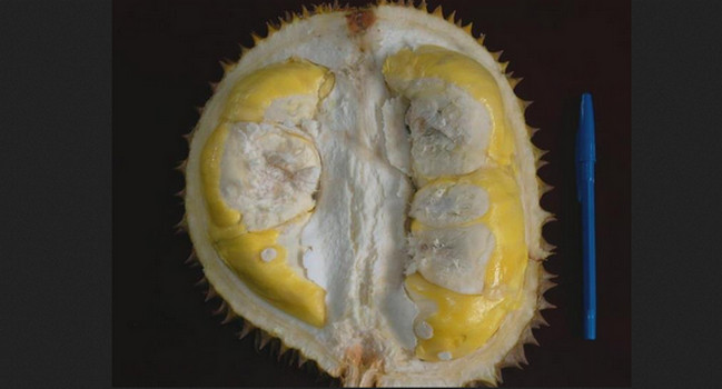 Durian Matahari (Cimanggu, Bogor) - www.jurukunci.net