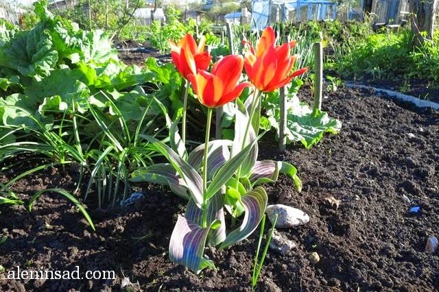 сорта тюльпанов, тюльпан, аленин сад, весенние луковичные, Toronto, красный тюльпан, с полосатыми листьями