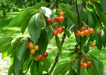 manfaat buah kersen, buah kersen yang bermanfaat