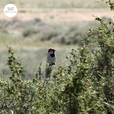 Gorrión común (Passer domesticus) pl. estiv