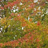 first colors of autumn neighborhood trees photo by Jennifer Kistler