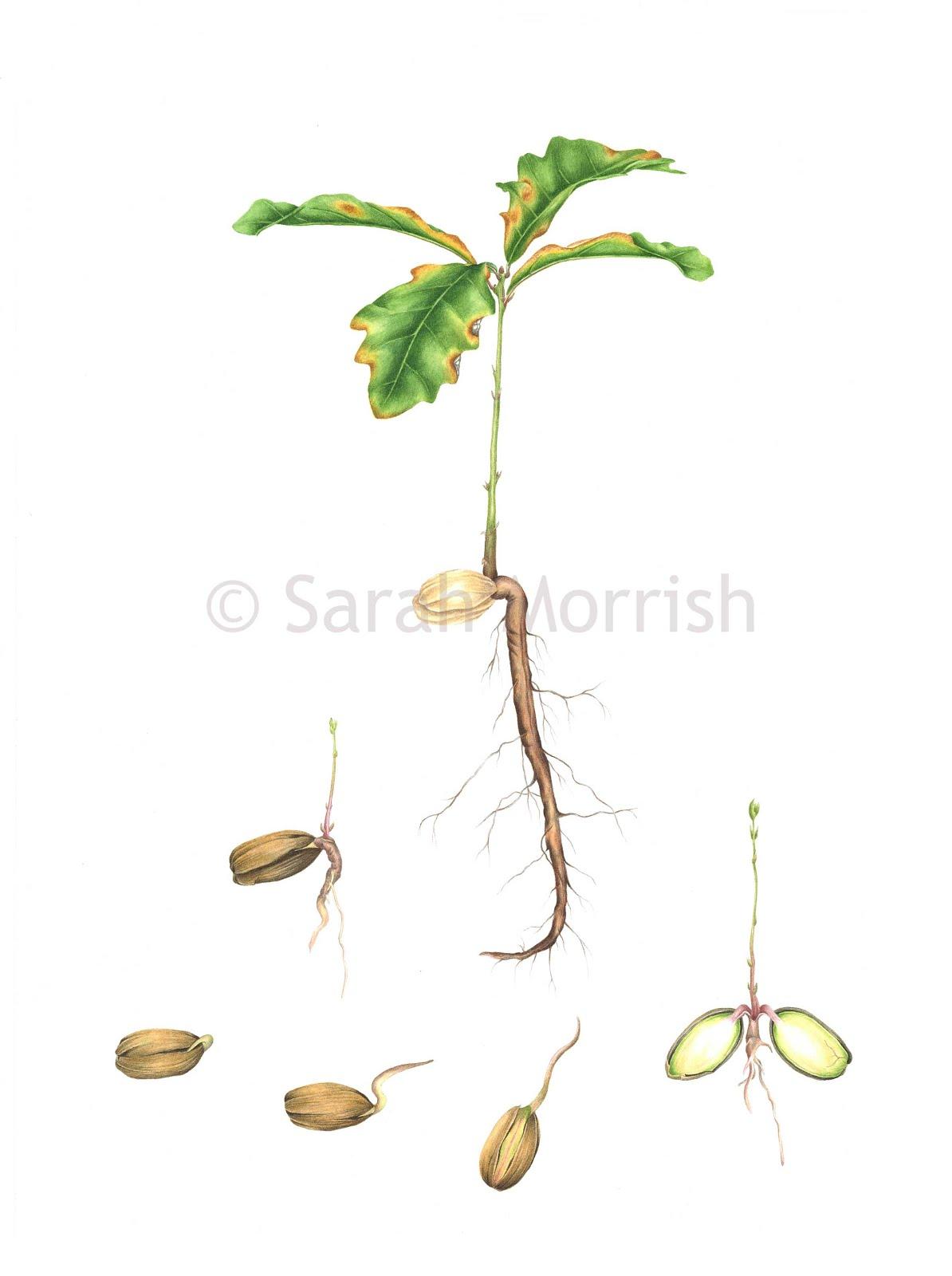 Quercus robur - New life