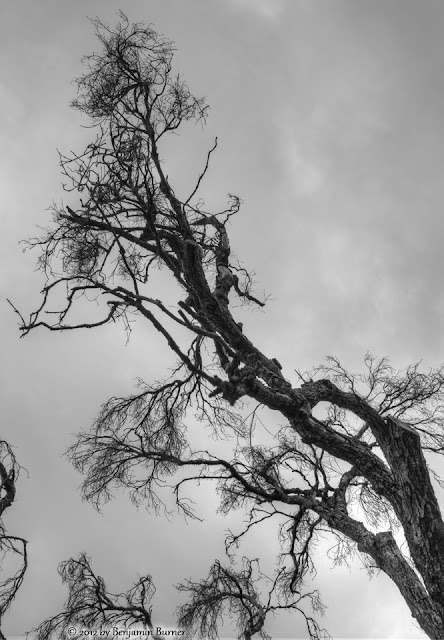 Dead Tree in Black and White