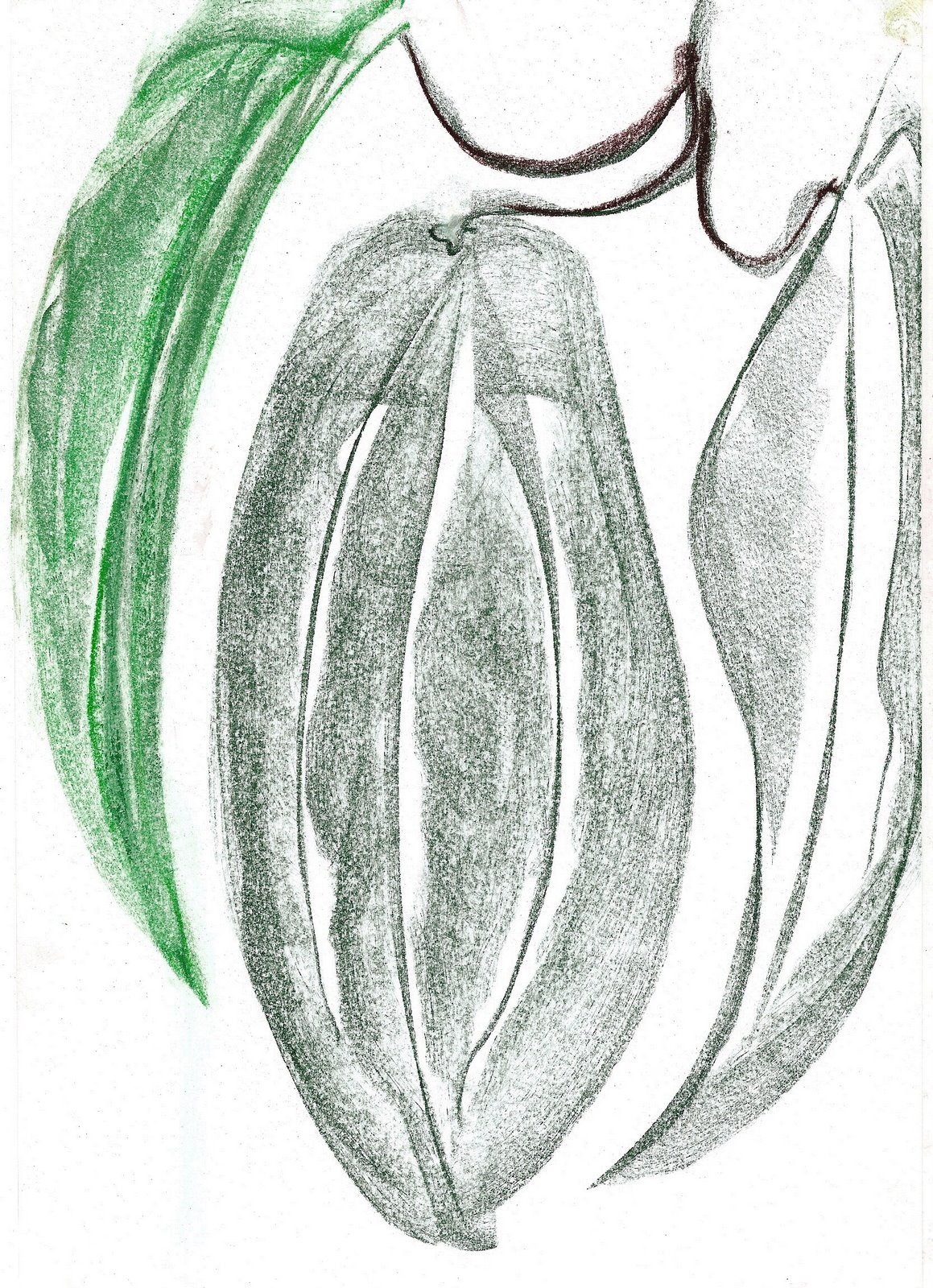 Hand drawn picture of clematis armandii leaf