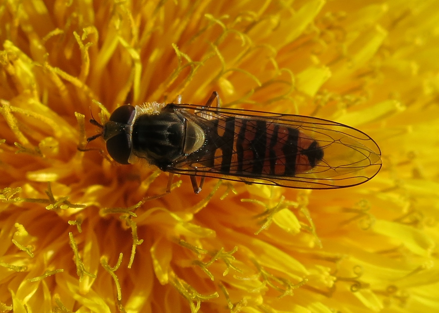Marmalade Hoverfly (Episyrphus balteatus) with wings shut across its back on a dandelion type flower. (Maybe even a dandelion!)