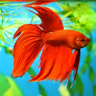 Tropical Fish Care for Betta Fish - Freshwater Fish Betta Fish ...