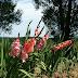 Gladiolus Garden Ideas