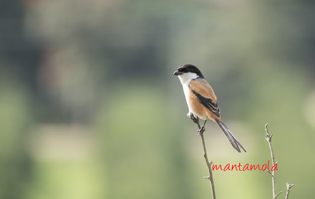 Long-Tailed Shrike (Lanius schach)