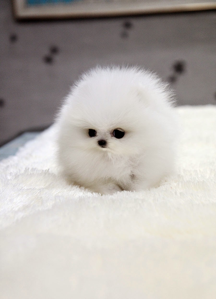 Pomeranian Puppy Picture is Really Cute Picture of Puppies
