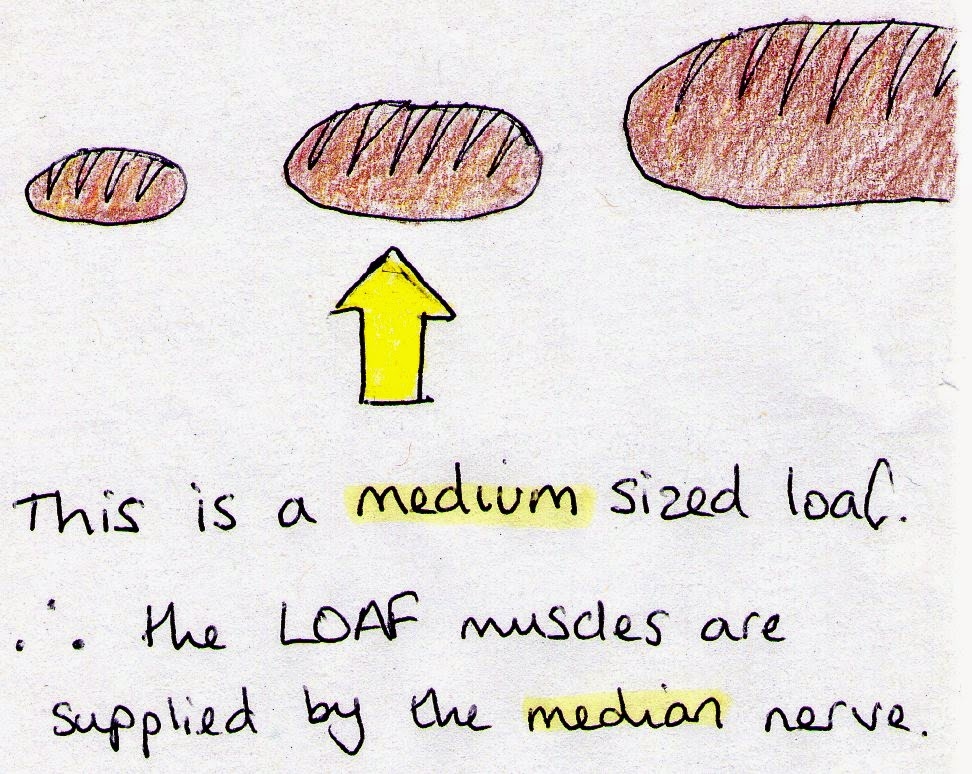 MEDGOAL: HAND MUSCLES that are supplied by MEDIAN NERVE