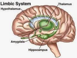 Sistem Limbik atau Otak Mamalia