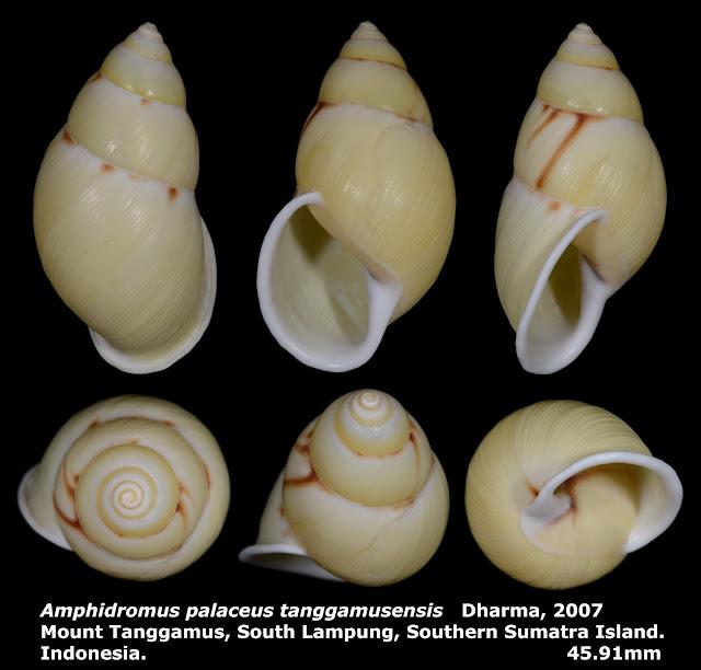 Amphidromus palaceus tanggamusensis 45.91mm