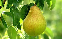 manfaat-buah-pir