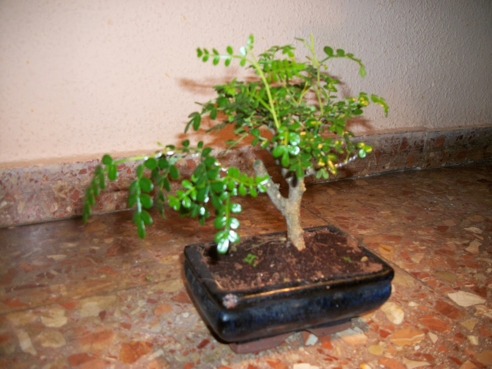 Nachgan bonsai mi pimentero japon s - Como cuidar un bonsai ...
