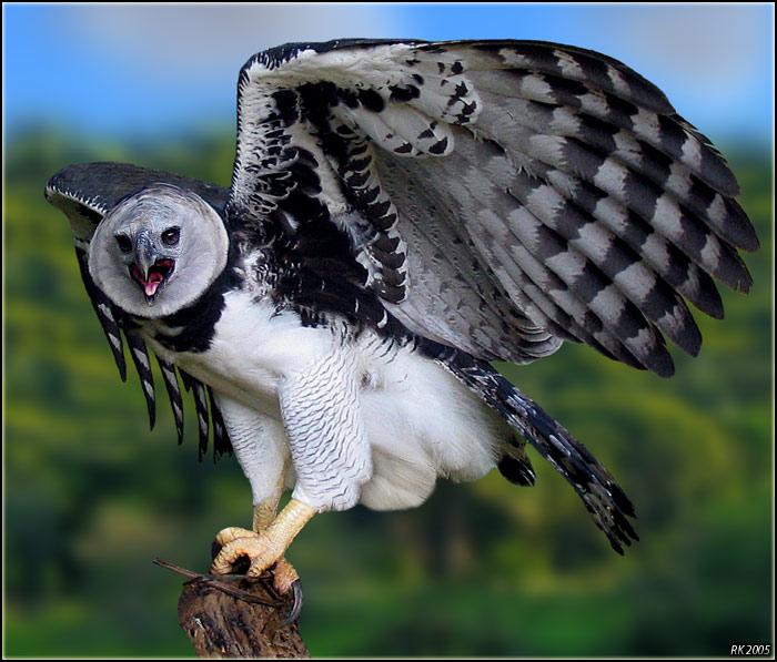 Harpy eagle hunting monkey - photo#24