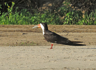 Black Skimmer intercedens