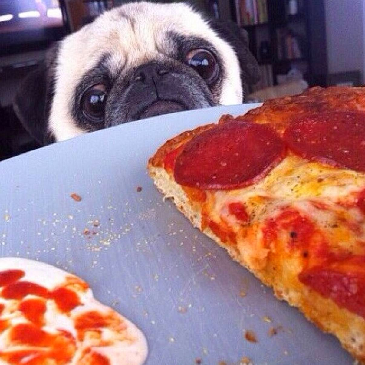 dog looking pizza